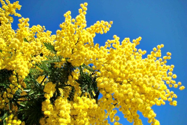 mimose-638x425